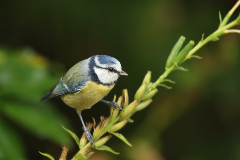 Blue tit picing seeds
