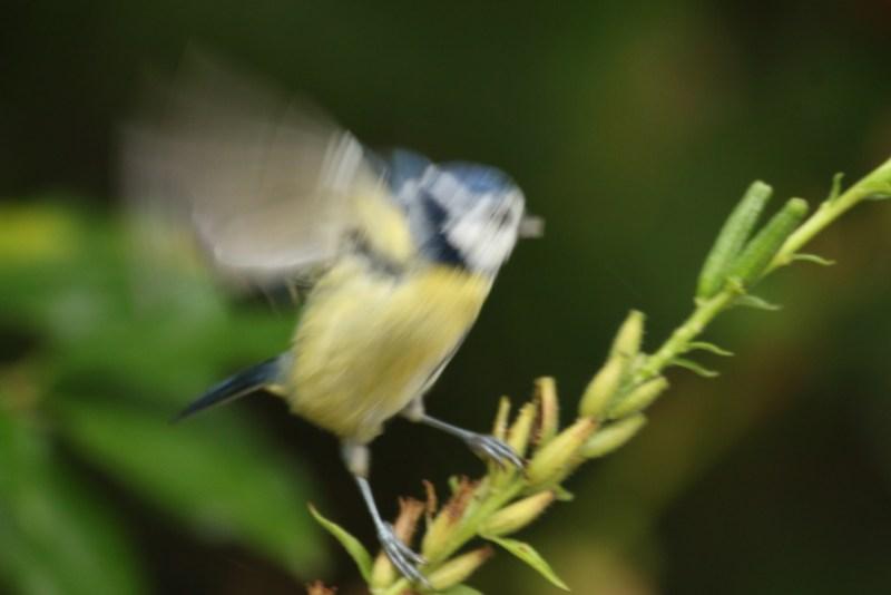 Blue tit taking off