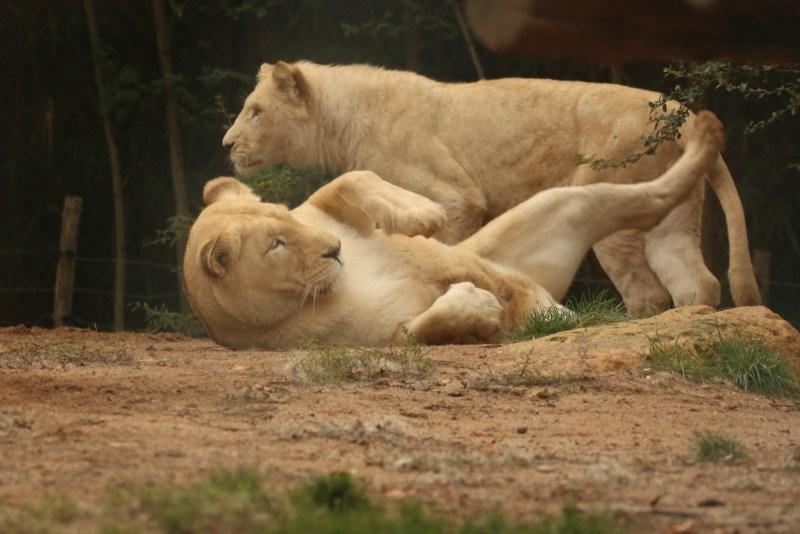 Juvenile lions