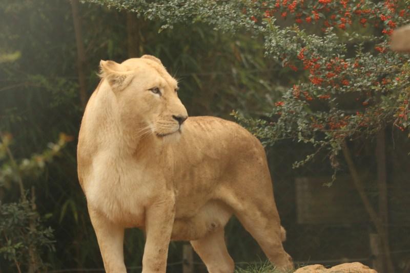 Lioness, standing