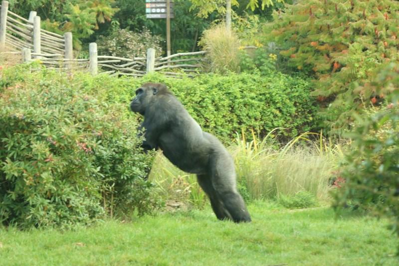 Gorilla, standing
