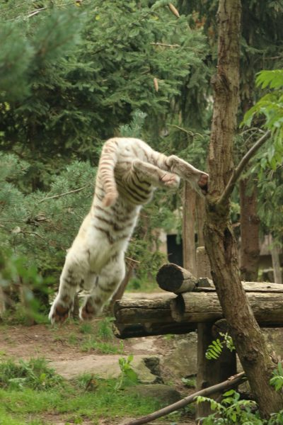 cub jumping