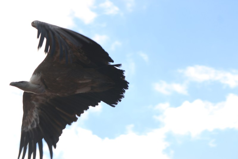 vulture, flying