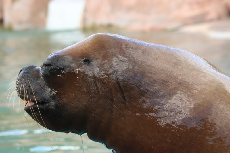 sealion, close up