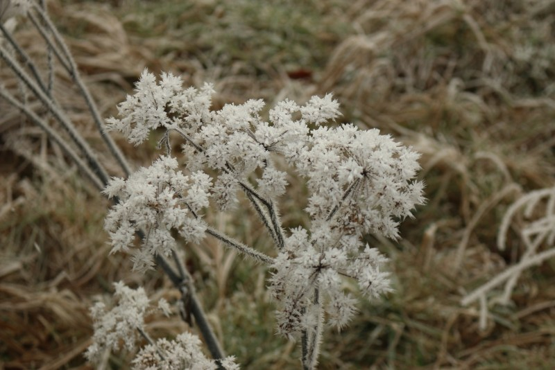 frozen stalks