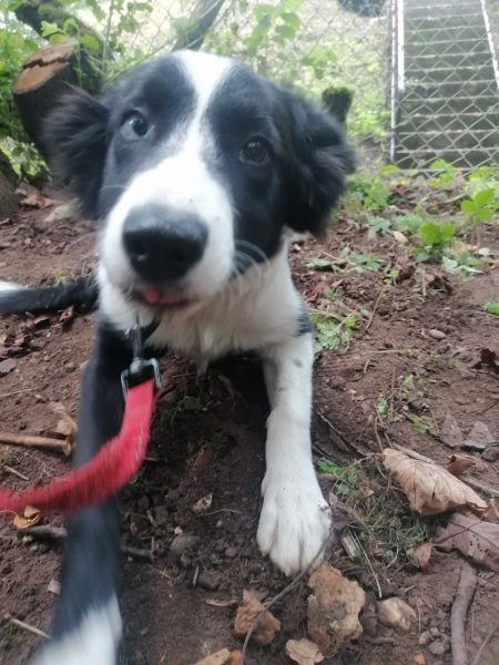 Picture of a black and white border collie puppy, 4 months old.