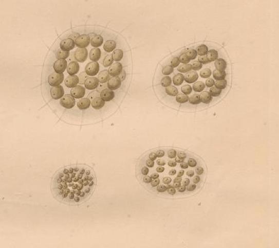 Eudorina elegans, from Ehrenberg 1832.