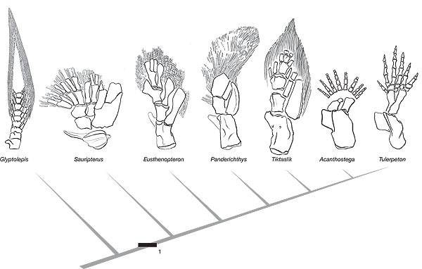 Figure 4 from Shubin et al. 2006. Comparison of fossil forelimbs.