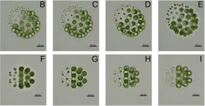 Figure 3 B-I from Knysak and Żelazna-Wieczorek 2017. Pleodorina indica (Iyengar) H. Nozaki 400x.