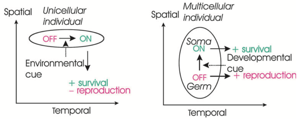 Figure 1G from Nedelcu & Michod 2006
