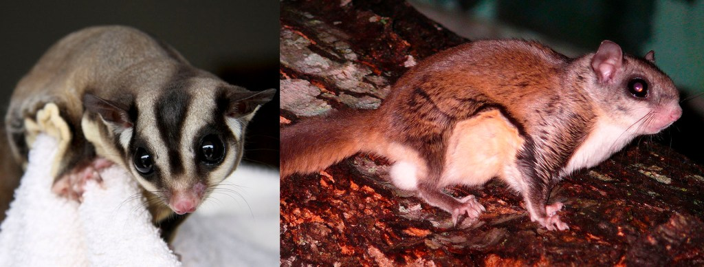 Sugar glider and flying squirrel