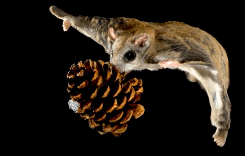 flyingsquirrel2