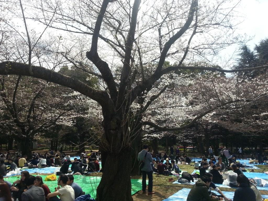 Cherry trees 3