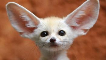 fennec-fox-baby.jpg?resize=350,200