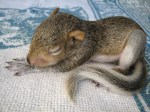sleeping-baby-squirrel