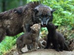 Wolf cubs kissing their mother