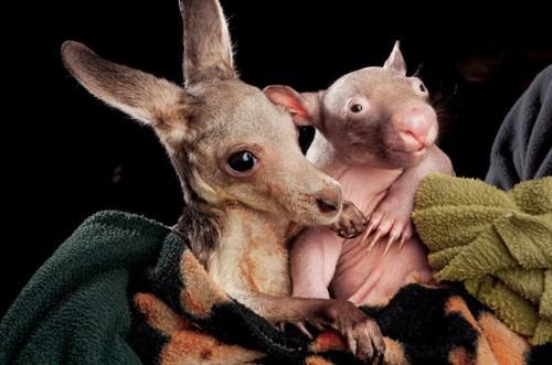 kangaroo-and-wombat