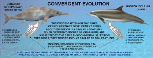 Convergent evolution between ichthyosaurs and dolphins