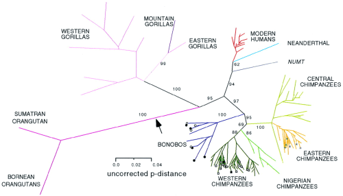 Unrooted phylogram of mitochondrial DNA sequences. Gagneux P1, Wills C, Gerloff U, Tautz D, Morin PA, Boesch C, Fruth B, Hohmann G, Ryder OA, Woodruff DS. (1999) Mitochondrial sequences show diverse evolutionary histories of African hominoids. Proc Natl Acad Sci USA 96(9):5077-82.