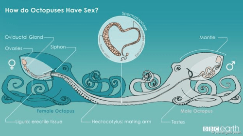 octosex
