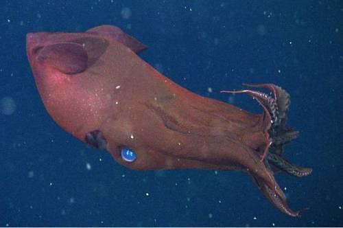 vampire_squid1