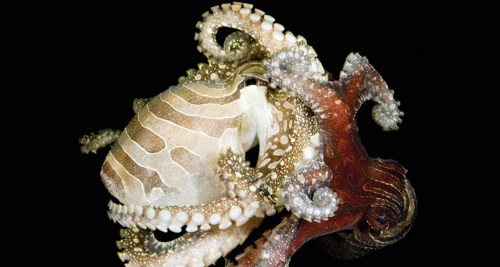 stripedoctopus