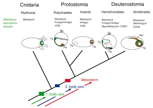 Scenario of the role of Brachyury during key events in animal evolution: emergence of the first body axis, the second body axis and the third germ layer, the mesoderm. Arrows intend to indicate that molecules implicated in these transitions were present before in a different context and that these transitions were brought about by inventing and recruiting developmental control genes to specific body regions or functions. These events might have occurred independently for the three major steps or, more likely, they may have been linked to and facilitate each other. Drawings represent gastrulae or post-gastrula larvae of different organisms. Brachyury expression is indicated in blue, presumptive mesoderm that overlaps with Brachyury expression regions in red hatched lines. Orientation is indicated by foregut (Fg) and hindgut (Hg). Other abbreviations: VCM, visceral cauddal mesoderm; AM, axial mesoderm.