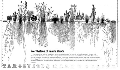 Illustration by Heidi Natura, 1995, of Living Habitats.  Click on image to see larger version.  80% of a prairie's biomass is below ground, which is a part of the reason why prairies are the greatest soil carbon factories in the world.  Those roots break up compacted soil, and as a portion of those roots die each year, they add organic matter and decompose into carbon, further enriching the soil; all of this is done without deadly pesticides or equally deadly petrochemical fertilizers.