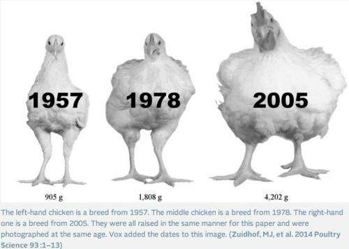 chickenrebuttal