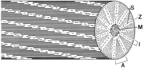 Schematic diagram of a cephalopod obliquely striated muscle fiber. Note that a cross-section of an obliquely striated muscle cell shows an analogous sequence of bands to those seen in a longitudinal section of a cross-striated fiber. A, A-band; I, I-band; M, mitochondria; S, sarcoplasmic reticulum; Z, elements.