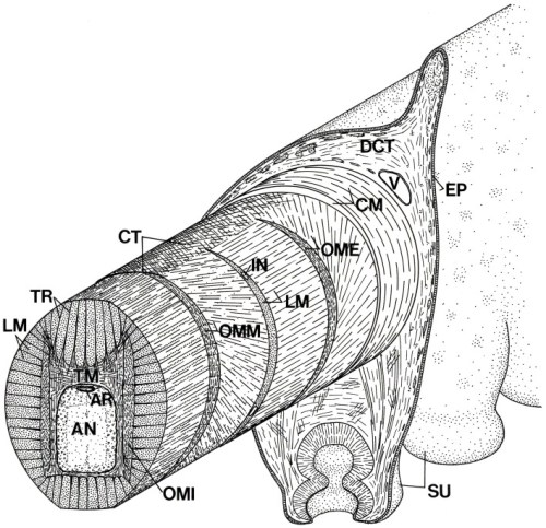 Schematic diagram of the arm of Octopus showing the three-dimensional arrangement of muscle fibers and connective tissue fibers. AN, axial nerve cord; AR, artery; CM, circumferential muscle layer; CT, connective tissue; DCT, dermal connective tissue; EP, epidermis; IN, intramuscular nerve; LM, longitudinal muscle fibers; OME, external oblique muscle layer; OMI, internal oblique muscle layer; OMM, median oblique muscle layer; SU, sucker; TM, transverse muscle fibers; TR; trabeculae; V, vein.