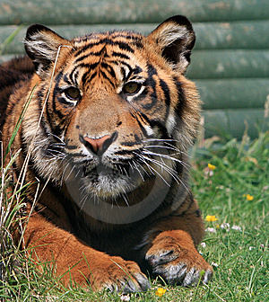 Stock Images - Tiger Animal