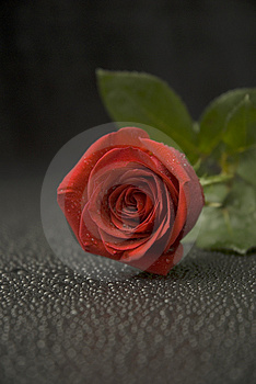 Stock Images - Wet Rose Series