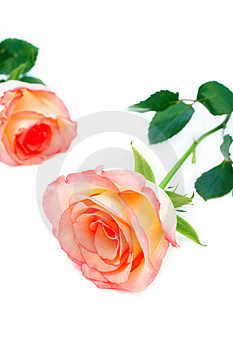 Stock Image - Isolated roses