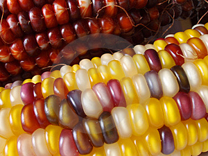 Stock Photos: Indian Corn Picture. Image: 258793