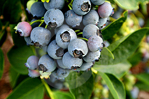 Stock Image - Blue Berries