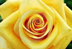 Free Stock Photo - Yellow rose