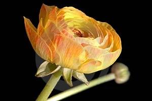 Stock Image - Ranunculus