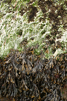 Stock Images - Seaweed on Rock