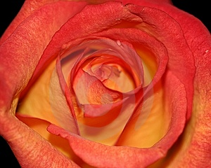 Stock Photos - Orange and Red Rose