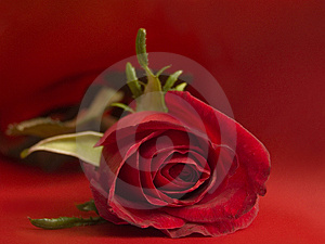 Stock Photos - Red rose