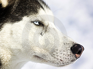 Stock Photography - Husky dog