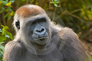 Free Stock Photo - Closeup of a gorilla