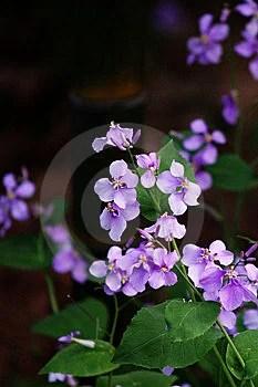 Free Stock Image - Purple flower