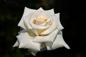 Stock Photos - Beautiful Rose