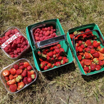 Boxes of strawberries and raspberries we'd collected at Grove Farm Pick Your Own