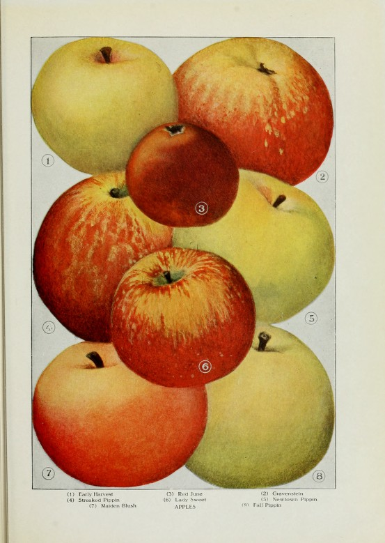 A vintage scientific style illustration of different apples.