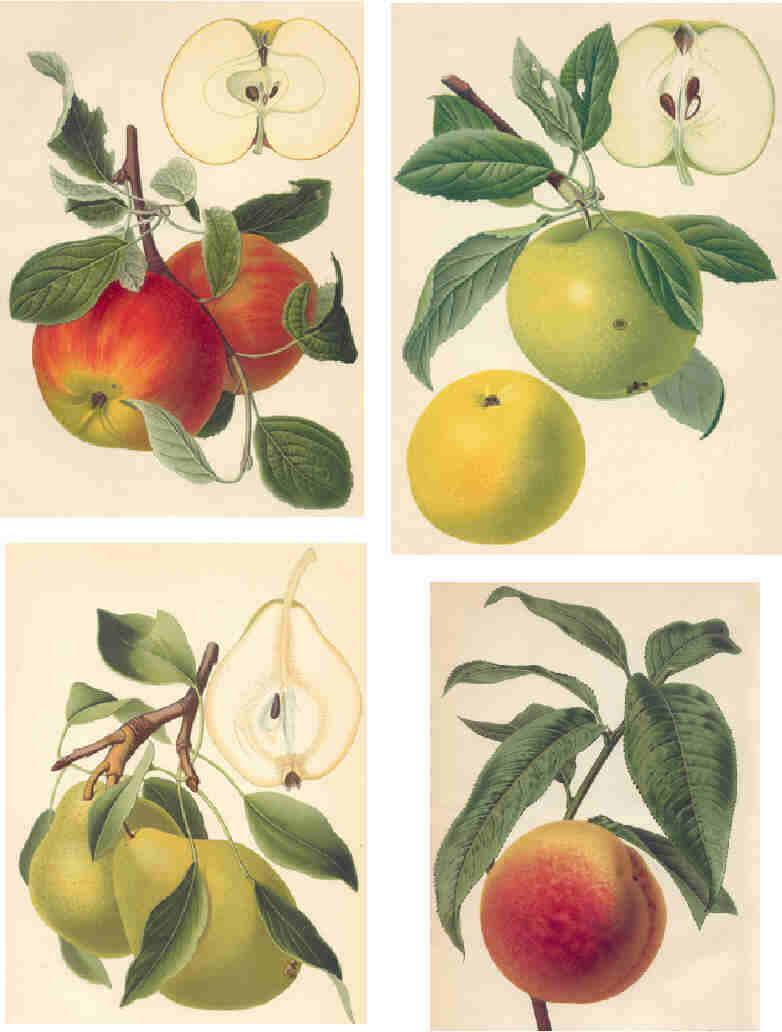 A collection of vintage scientific illustrations of fruit.