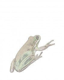 public domain frog illustration