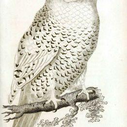 public domain vintage owl image 14